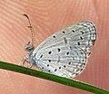 Zizula hylax – Tiny Grass Blue 03.jpg