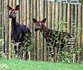 Zoo-okapi-ffm003.jpg