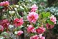 """Mrs, David Reed"" (Camellia japonica) (3503532034).jpg"