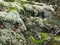 """""""Reindeer lichens"""" in Tyresta.jpg"""