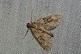 (1768) Grey Pine Carpet (Thera obeliscata) (4045252193).jpg