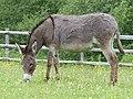 Âne gris dun en Mayenne.jpg