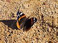 Бабочка Адмирал (Vanessa atalanta) - panoramio.jpg