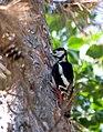 Большой пёстрый дятел - Dendrocopos major - Great spotted woodpecker - Голям пъстър кълвач - Buntspecht (36426090213).jpg