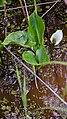 Білокрильник (Calla palustris).jpg