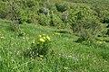 Дністровський каньйон адоніс квітне.jpg