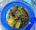 Жаби, відловлені для герпетологічних досліджень в ході експедиції Інституту зоології.jpg