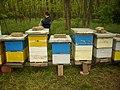 Пчеле на багрему - panoramio.jpg