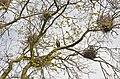 Сокілецька колонія чапель - 16050580.jpg