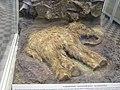 Тафономия магаданского мамонтенка 2.jpg