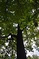 Тюльпанове дерево у Кам'янець-Подільському.jpg