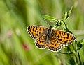 Шашечница тривия - Melitaea trivia - Lesser Spotted Fritillary - Braunlicher Scheckenfalter (32887113996).jpg