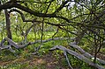 Яблуня-колонія, м. Кролевець 01.jpg