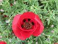 פרחי פרג בכפר נין 05.jpg