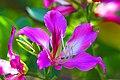 ชงโค Bauhinia purpurea Linn (1).jpg