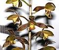 報歲丹鳳 Cymbidium sinense 'Red Phoenix' -香港大埔蘭花展 Taipo Orchid Show, Hong Kong- (12204967044).jpg