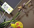 報歲飛龍在天 Cymbidium sinense 'Dragon Flying in Sky' -香港沙田洋蘭展 Shatin Orchid Show, Hong Kong- (12284434553).jpg