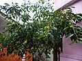 我家的柿树 - panoramio.jpg