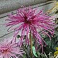 日本管物菊 Chrysanthemum morifolium Japanese-tubular-series -上海嘉定匯龍潭公園 Jia Ding, Shanghai- (9204834815).jpg