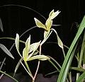 春劍-素六瓣 Cymbidium longibracteatum Odd-series -香港大埔蘭花展 Taipo Orchid Show, Hong Kong- (9219895329).jpg