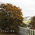 春日神社のクロガネモチの木 太子町春日 Round leaf holly in Kasuga-jinja 2012.2.12 - panoramio.jpg