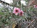 松紅梅 Leptospermum scoparium -比利時 Ghent University Botanical Garden, Belgium- (9190557591).jpg