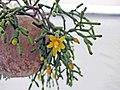 猿戀葦 Hatiora salicornioides -香港花展 Hong Kong Flower Show- (9213324379).jpg