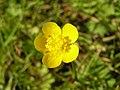 球根毛茛 Ranunculus bulbosus -英格蘭 Woking, England- (9216100046).jpg
