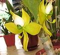 綠天鵝 Cycnoches warscewiczii -香港大埔蘭花展 Taipo Orchid Show, Hong Kong- (9222670070).jpg
