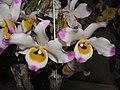 腫節石斛 Dendrobium pendulum -香港沙田洋蘭展 Shatin Orchid Show, Hong Kong- (9255247500).jpg