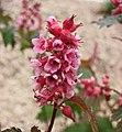 西康繡線梅 Neillia thibetica -比利時 Ghent University Botanical Garden, Belgium- (9207628000).jpg