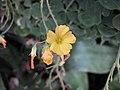 酢漿草屬 Oxalis ptychoclada -英格蘭 Wisley Gardens, England- (9213293389).jpg