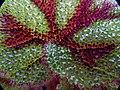 鐵十字秋海棠 Begonia masonian - panoramio.jpg