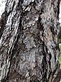 黑松 Pinus thunbergii 20211007185113 05.jpg