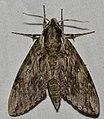 - 7790 – Ceratomia hageni – Hagen's Sphinx Moth (42228480820).jpg