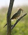 060328 Guira cuckoo CN - Flickr - Lip Kee.jpg