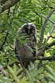 06 13 2019 Long-eared owl. Asio otis.jpg