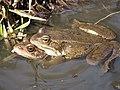 14 Long-legged Wood Frog.jpg
