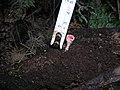 2010-03-20 Microstoma floccosum (Schwein.) Raitv 92716.jpg