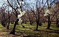 2013 Spring blossoms in Isfahan 16.jpg