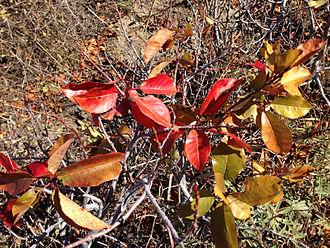 Prunus virginiana - Autumn foliage