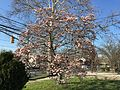 2015-04-12 17 17 08 Saucer Magnolia blooming on Princeton Avenue in Lawrence, New Jersey.jpg