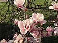 2015-04-12 17 17 18 Saucer Magnolia blossoms on Princeton Avenue in Lawrence, New Jersey.jpg