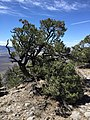 2015-04-28 13 26 58 An older Single-leaf Pinyon on the south wall of Maverick Canyon, Nevada.jpg