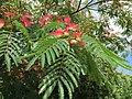 2015-06-13 16 15 33 Mimosa leaves and flowers along Old Ox Road (Virginia State Secondary Route 606) in Sterling, Virginia.jpg