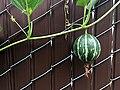 2016-366-216 Wild Watermelon (28756292165).jpg