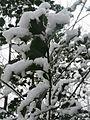 20170103Ilex aquifolium1.jpg