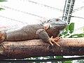 20180825 Vlinders aan de Vliet 33 - Iguana iguana.jpg