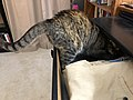2019-07-12 00 35 45 A tabby cat crawling into a dresser drawer in the Franklin Farm section of Oak Hill, Fairfax County, Virginia.jpg