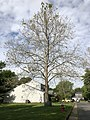 2020-05-27 08 59 37 An American sycamore with a severe infection of Sycamore anthracnose along Tranquility Court in the Franklin Farm section of Oak Hill, Fairfax County, Virginia.jpg